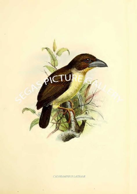 Fine art print of the CALORAMPHUS LATHAMI by J G Keulemans (1871)